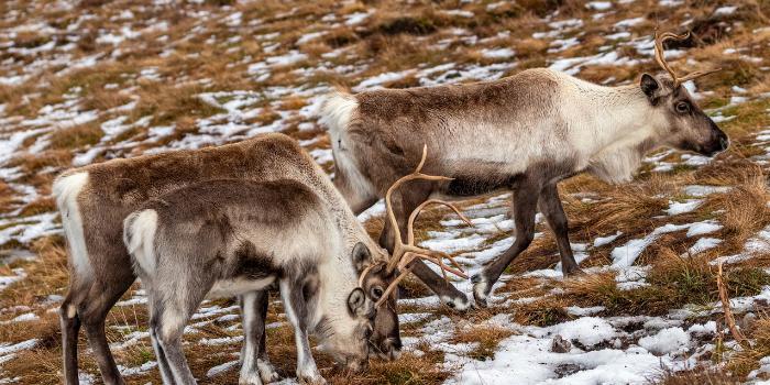 Cairngorms-deer