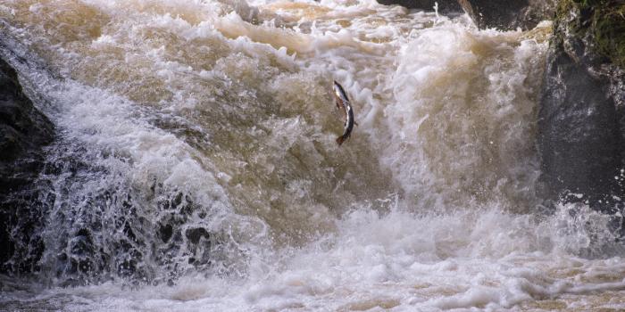 Salmon-leap-2