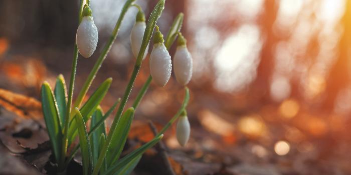 Snowdrops-3